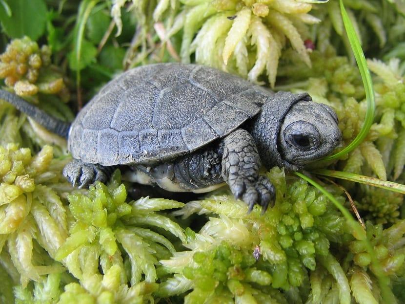 Cría de tortuga de blanding