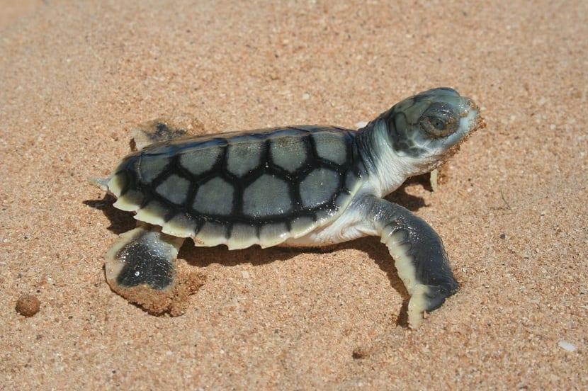 Cría de tortuga plana
