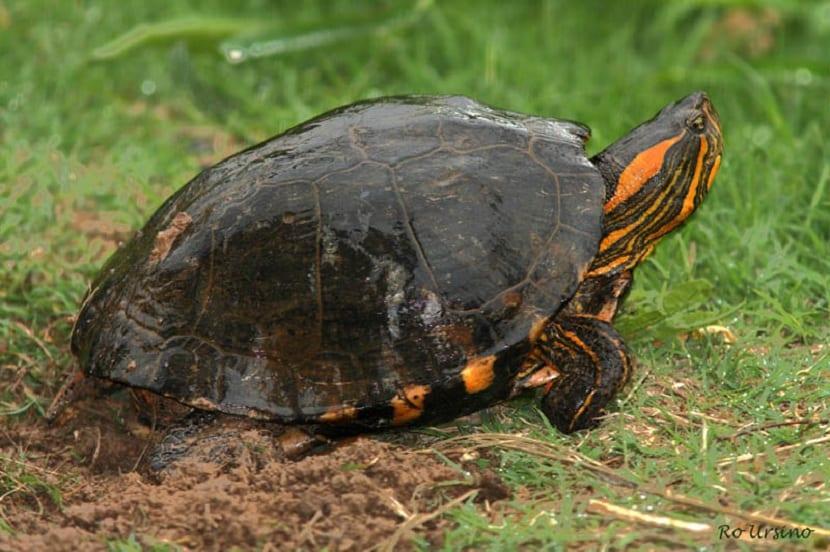 Habitat de la tortuga pintada