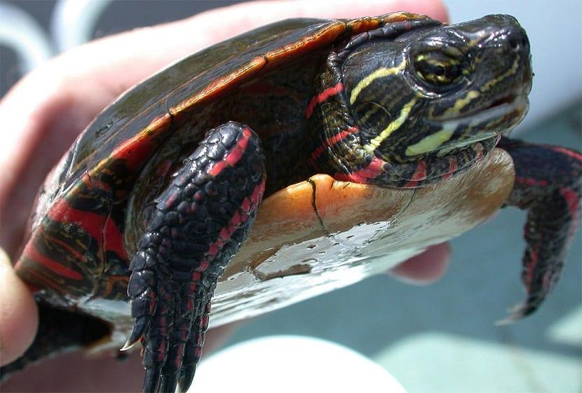 Manipulación de la tortuga pintada