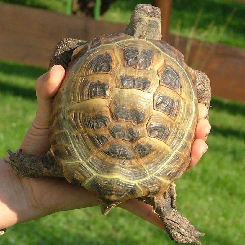 Manipulación de la tortuga rusa