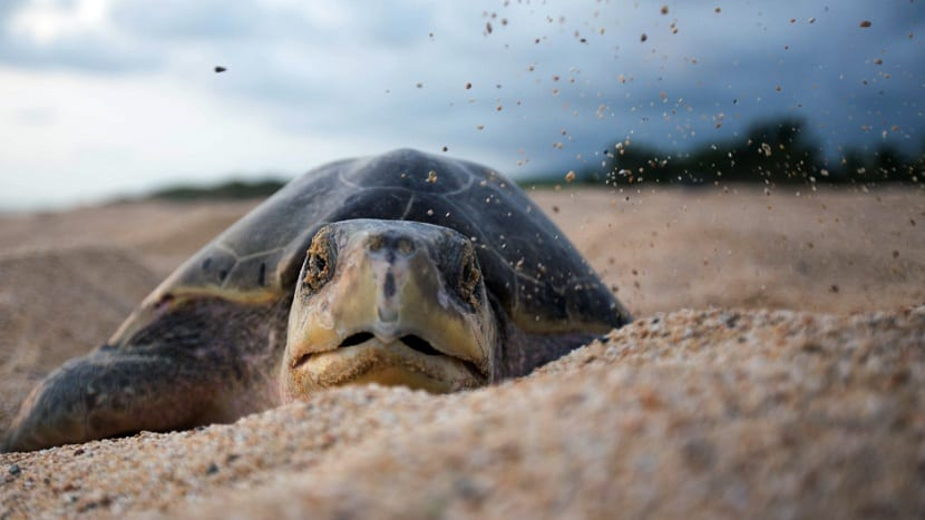 Nidación de la tortuga golfina