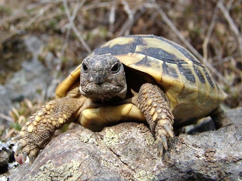 Tortuga mediterránea (Testudo hermanni)