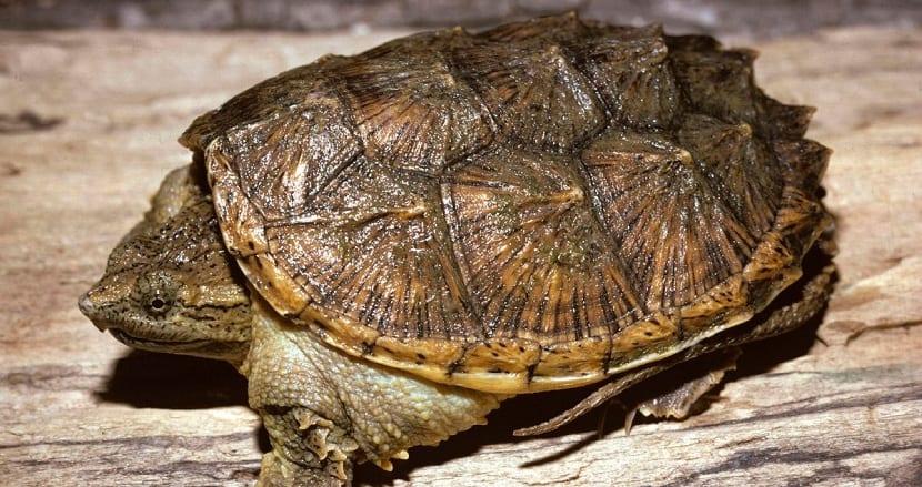 Tortuga mordedora y su hábitat