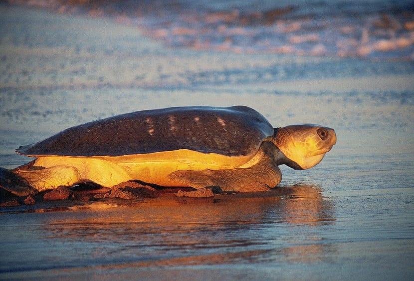 Tortuga plana (Natator depressus)