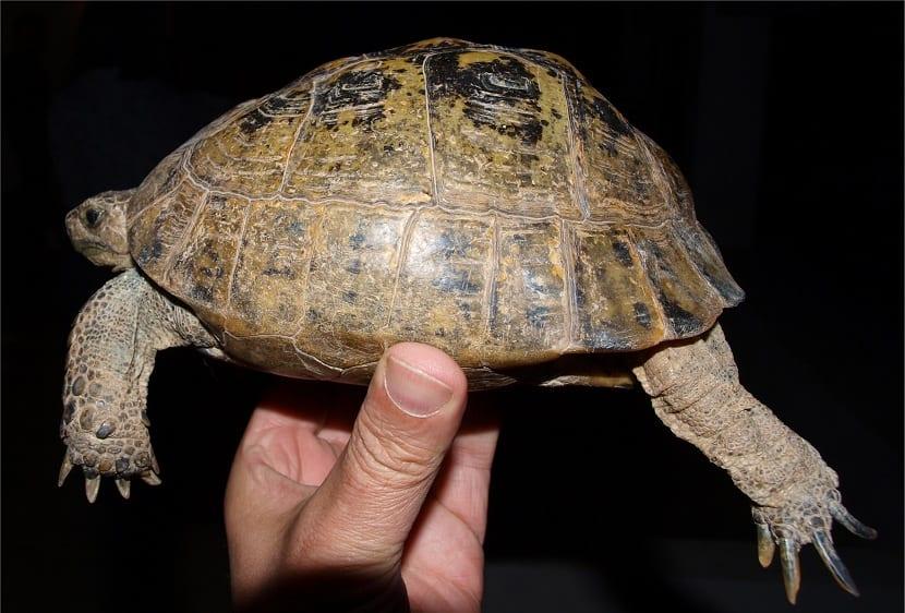 manipulacion de la tortuga