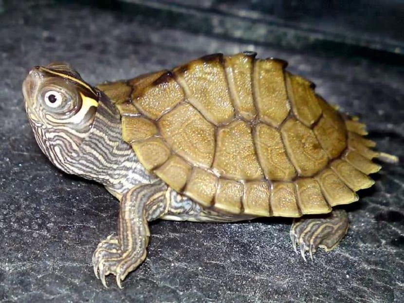 Alimentación de la tortuga mapa falsa