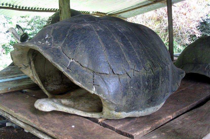 Caparazón hueco de tortuga