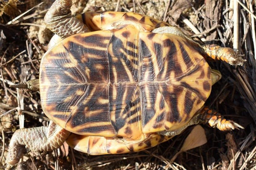 Características de la tortuga apestosa