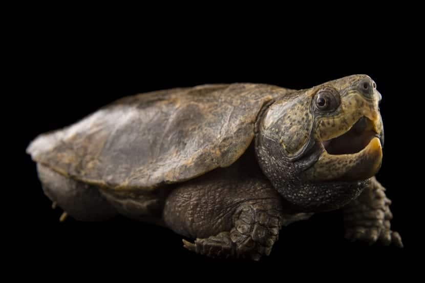 Características de la tortuga cabezona