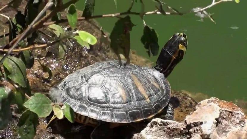 Comida de las tortugas de agua dulce