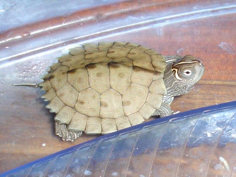 Condiciones de la falsa tortuga mapa