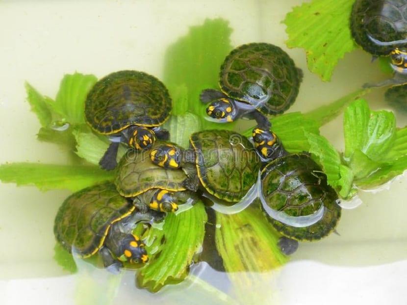 Crías de tortuga comiendo