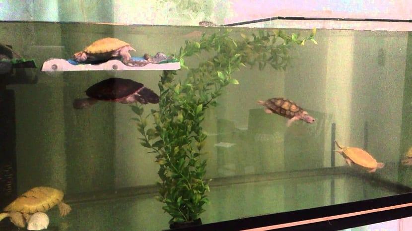 Crías de tortuga en acuario