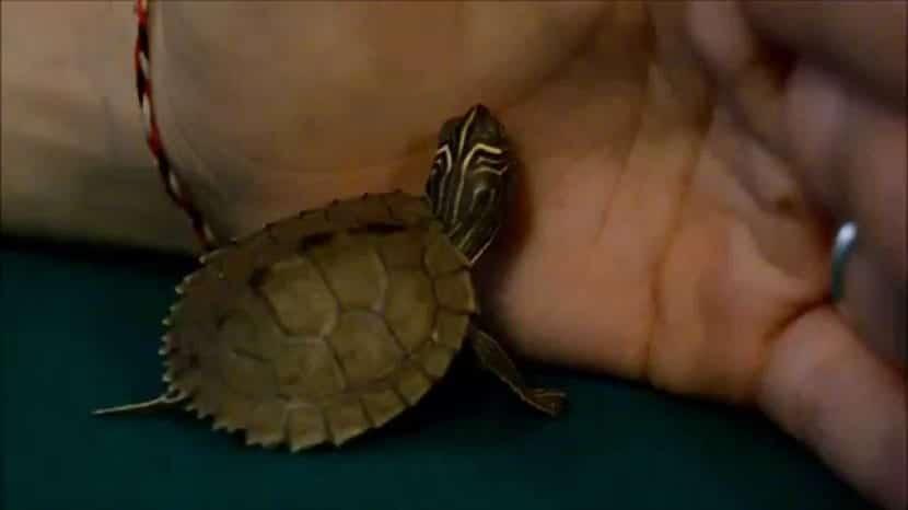 Cuidados de la tortuga mapa falsa