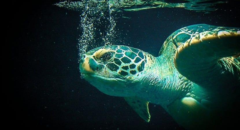 Especies de tortugas marinas