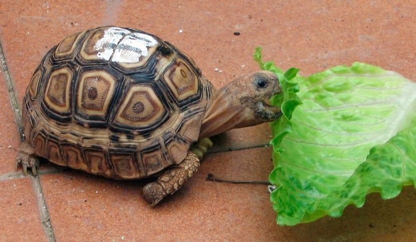 Qué comen las tortugas