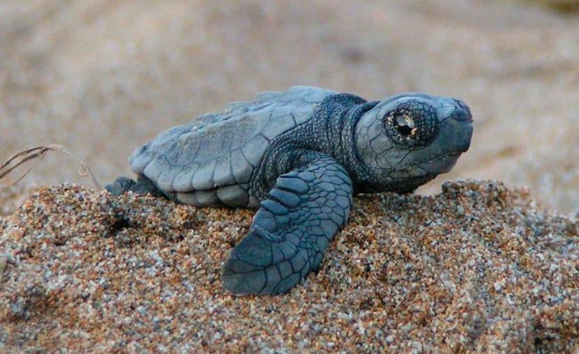 Reproducción y crias de las tortuga marinas