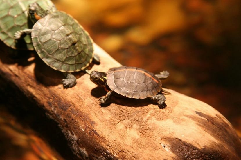 Reproducción de las tortugas de agua dulce