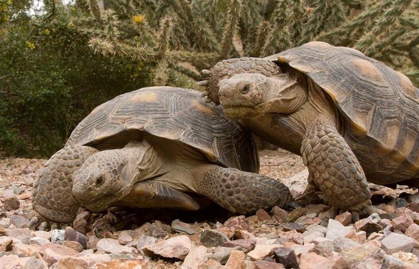 Reproducción de las tortugas terrestres