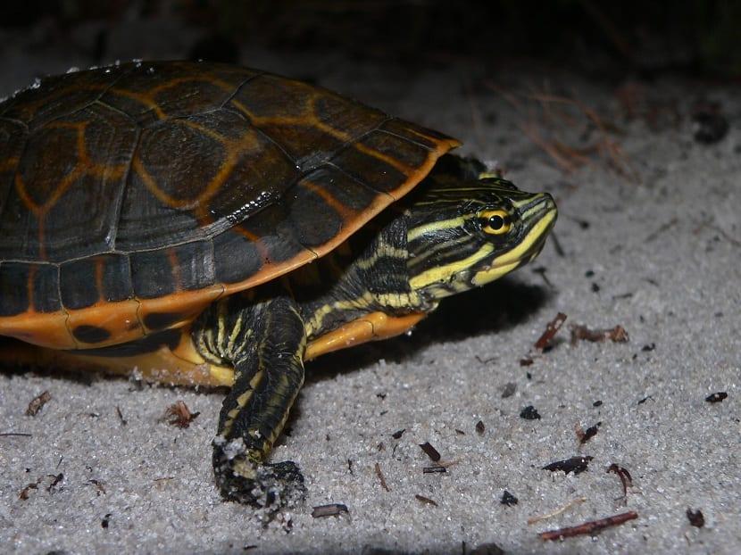 Subespecies y estado de conservación