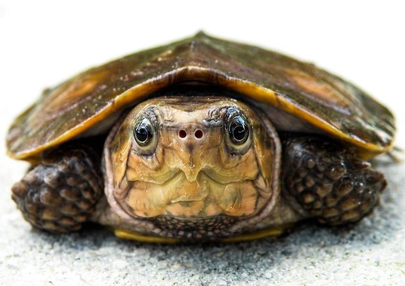 Tortuga cabezona (Platysternon megacephalum )
