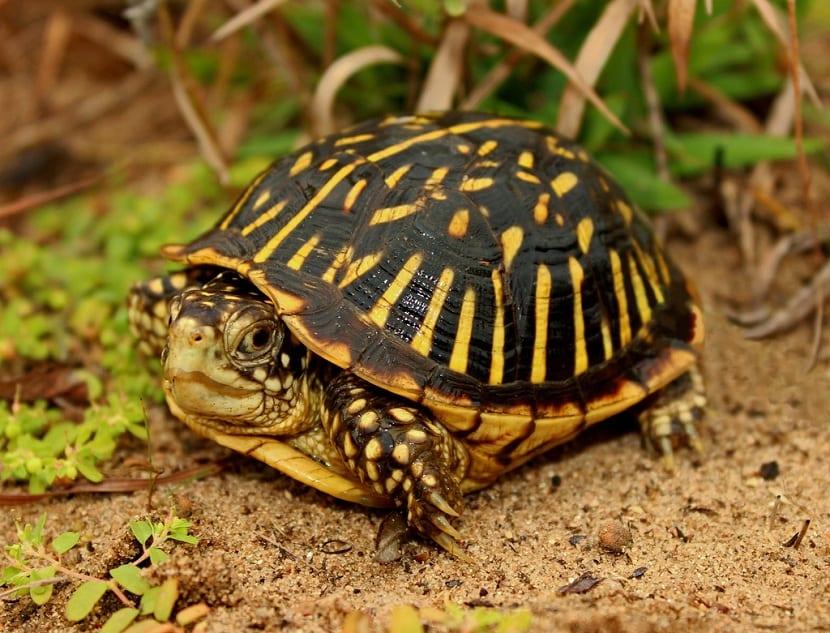 tortuga apestosa