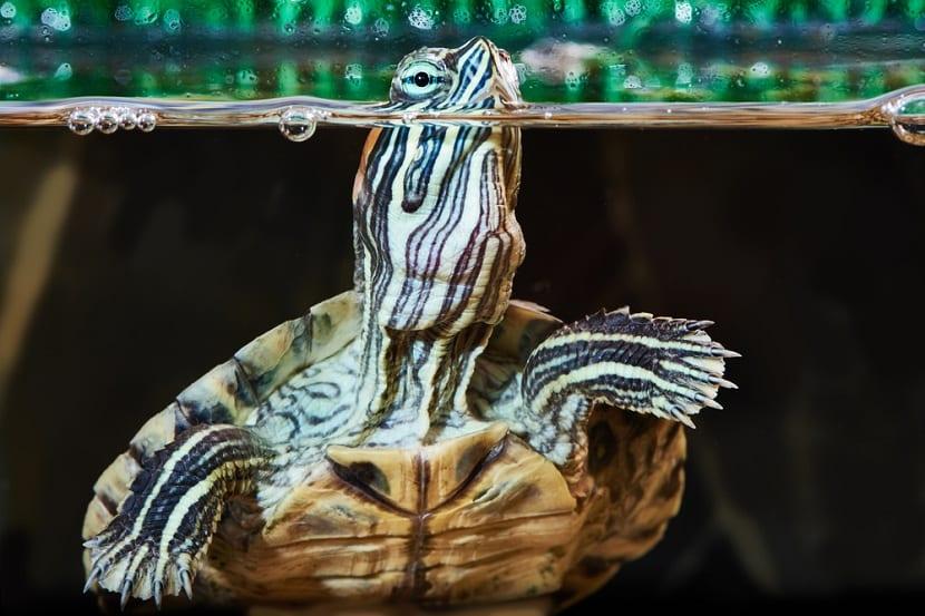 tortugas de agua marina