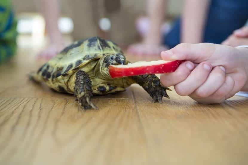 dando de comer a una tortuga pequeña