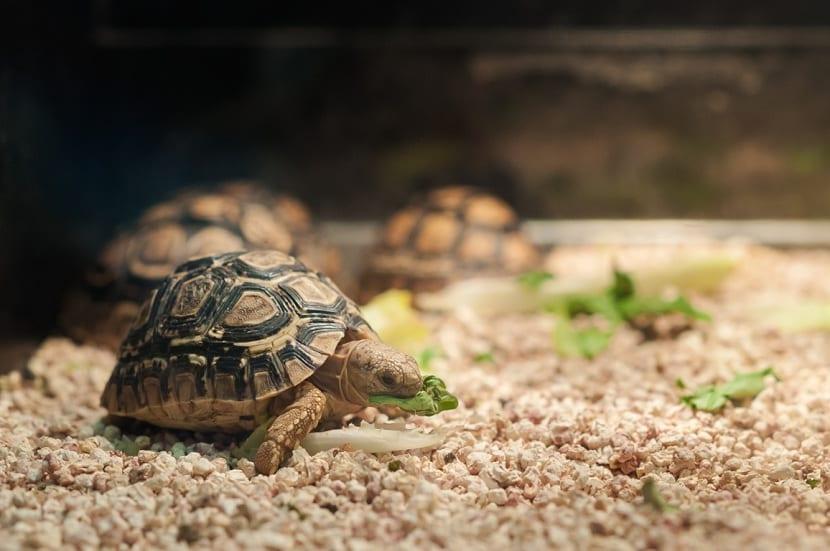 tortuga pequeña comiendo lechuga