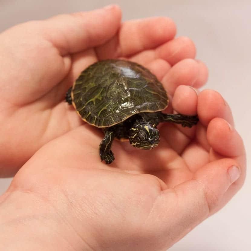tortuga pequeña en la mano