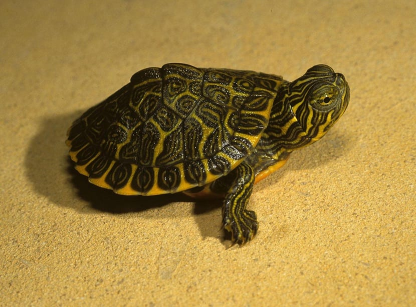 tortuga pequeña