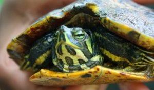 tortugas pequeñas