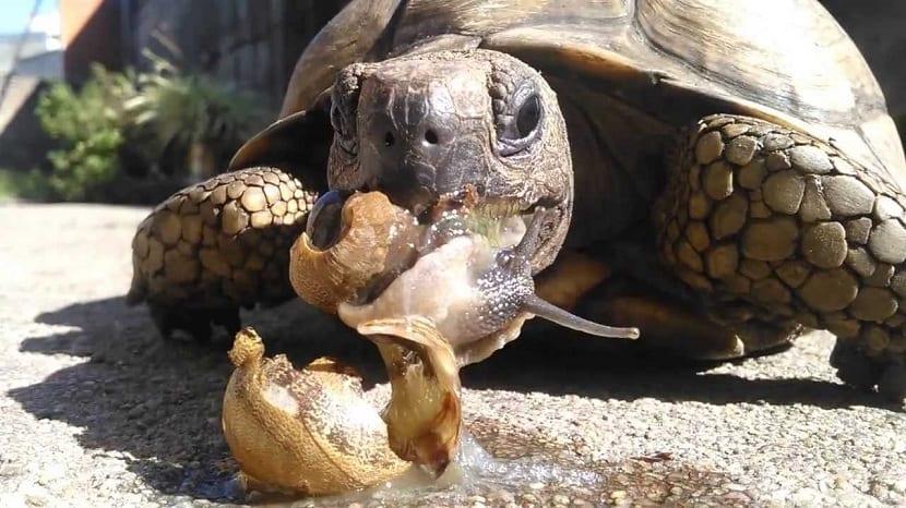 alimentacion de la tortuga de tierra