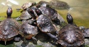cómo saber si una tortuga es macho o hembra