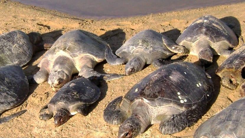 Ciclo de vida de las tortugas