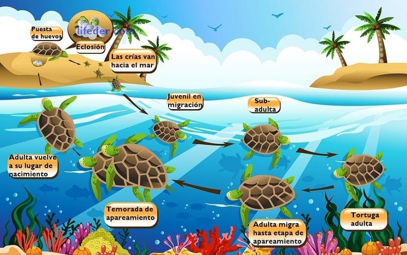 ciclo de vida tortuga