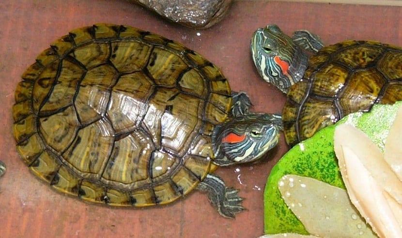 comida para las tortugas de agua
