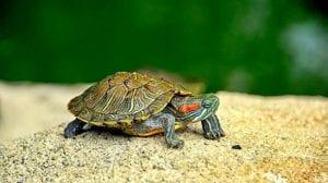 cuanto viven las tortugas