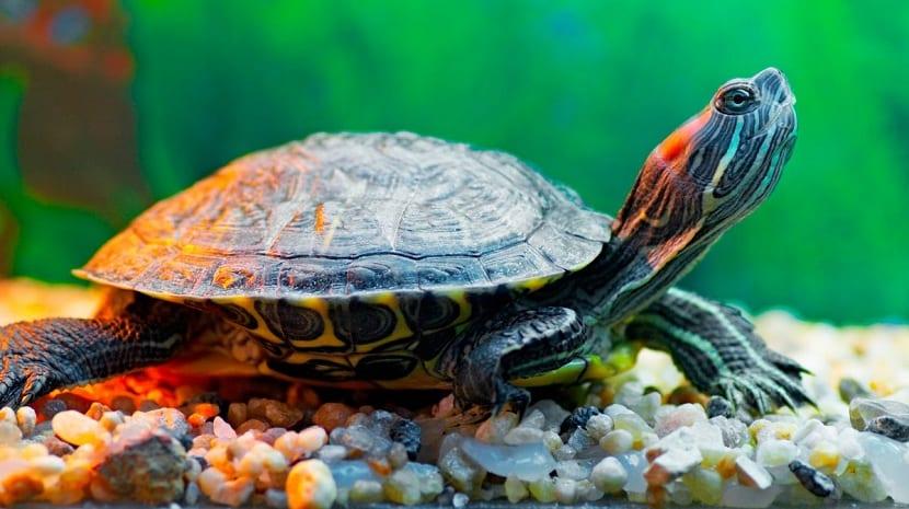 cuidados de las tortugas de agua