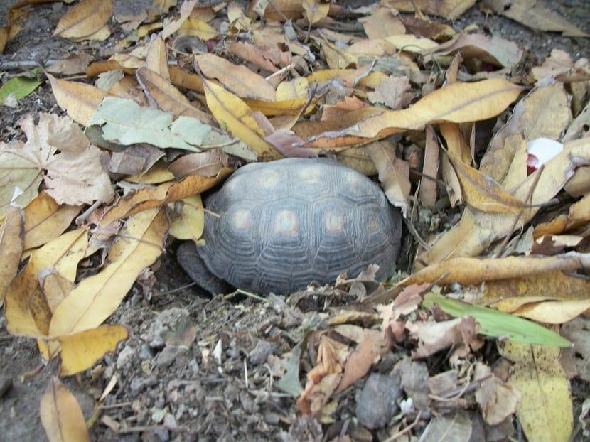 hibernación de tortugas