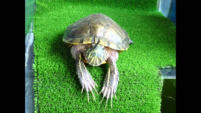 sexo de las tortugas