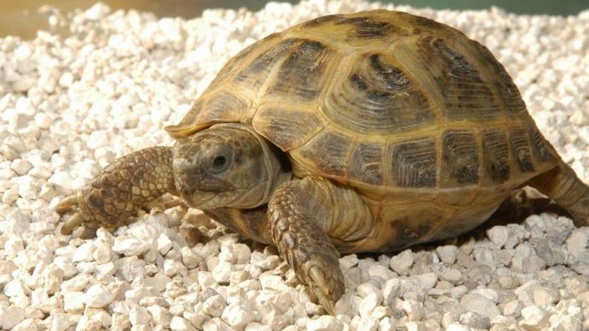 sustrato de tortugas de tierra