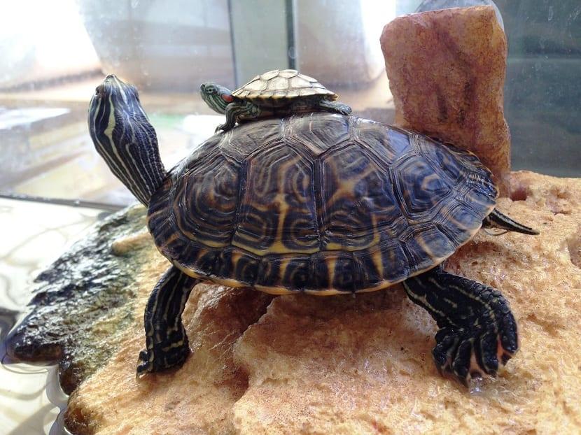 tortuga de agua en terrario