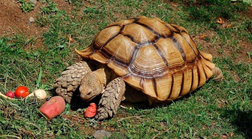 tortuga de tierra alimentándose