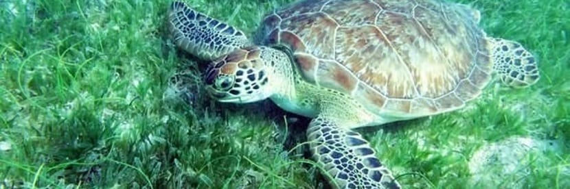 tortuga marina vegetariana