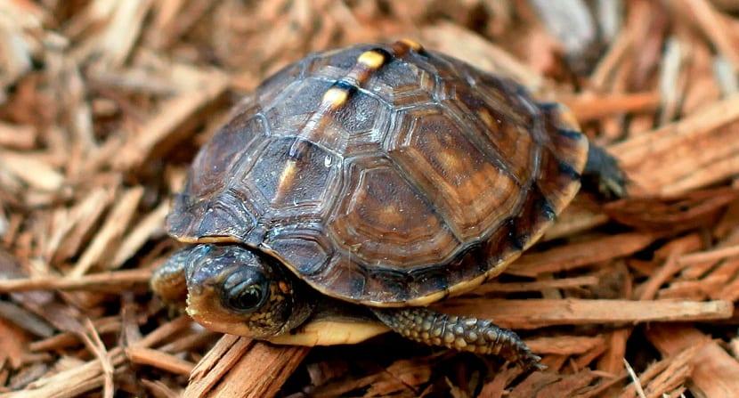 tortuga terrestre pequeña