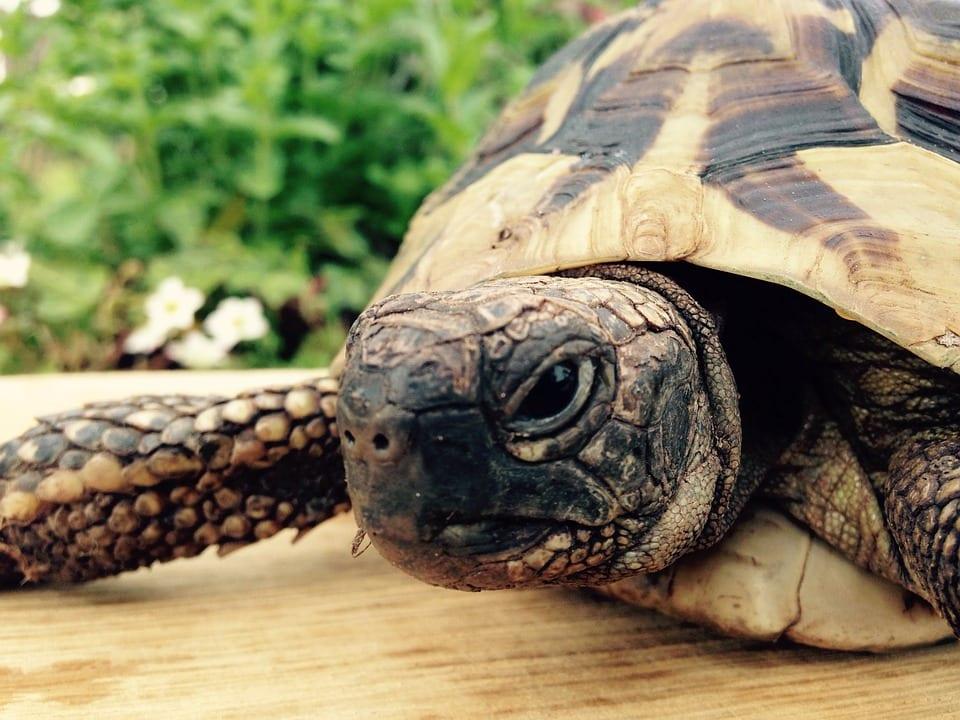 Vista de una tortuga griega